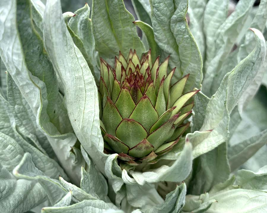 Cynara cardunculus var scolymus - new bud emerging between leaves