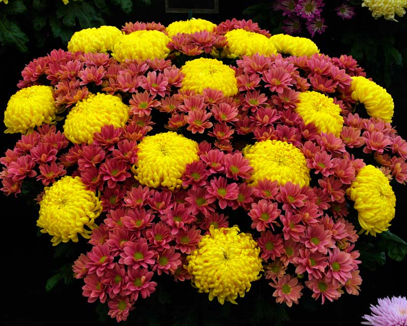 Chrysanthemum Grand Cherry and Misty Primrose - as seen at RHS Hampton Court 2015