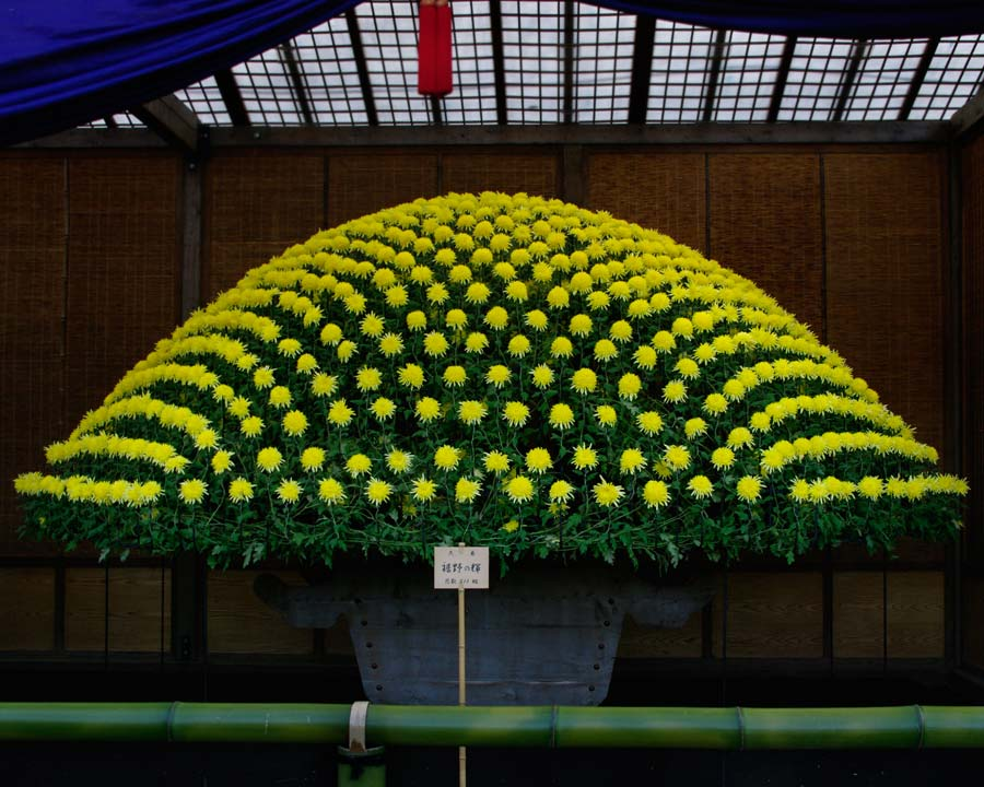Chrysanthemum morifolium - This is one plant !! seen at an exhibition in Shinjuku Gyoen park in central Tokyo