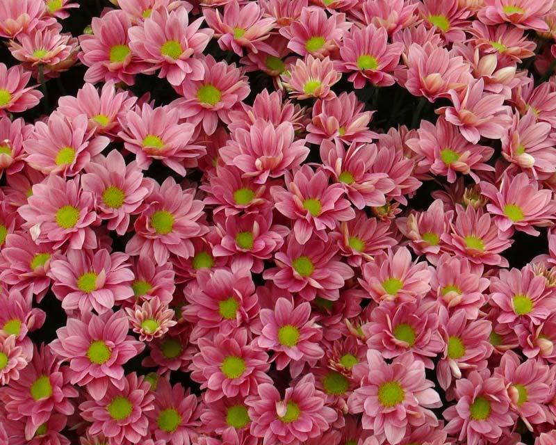 Chrysanthemum x Grand Cherry