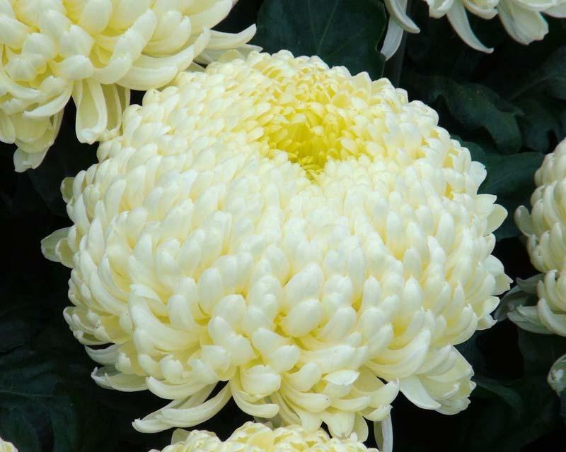 Chrysanthemum morifolium x Misty Cream