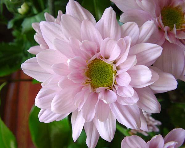 Chrysanthemum x grandiflorum