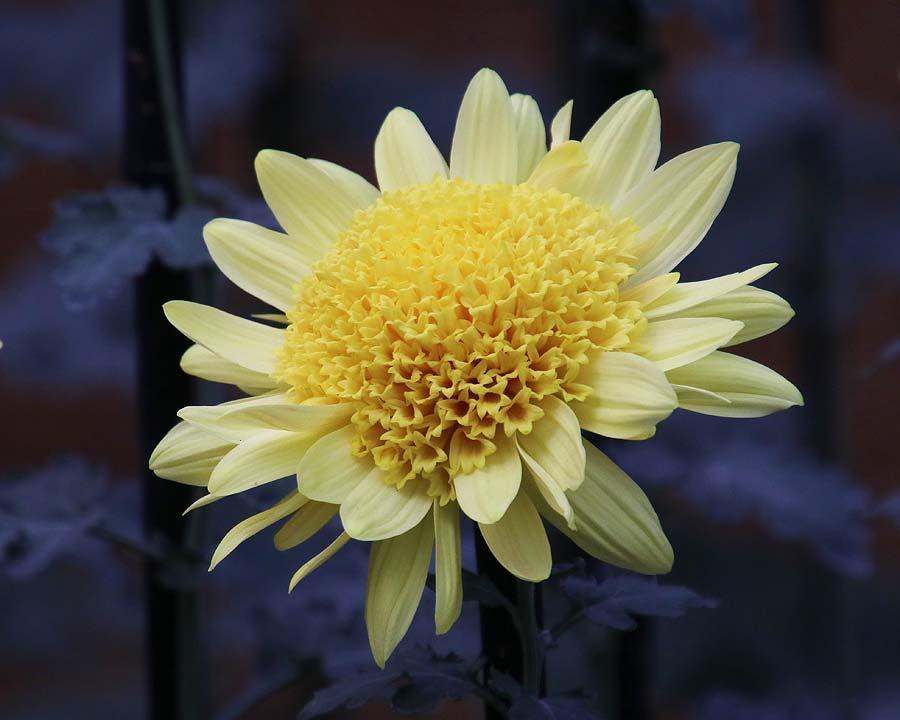 Chrysanthemum morifolium - exhibition in Shinjuku Gyoen park in central Tokyo