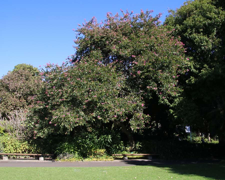 Bauhinia x Blakeana, Hong Kong Orchid Tree - seen here in Sydney Botanic Gardens