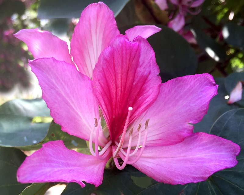Bauhinia x blakeana - Hong Kong Orchid Tree