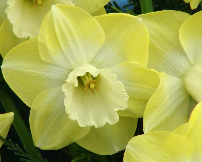Narcissus Large Cupped group - 'Avalon'