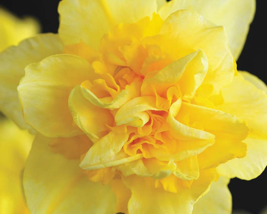 Narcissus Double group - 'Dick Wilden'