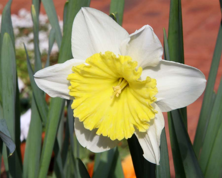 Narcissus Large Cupped group - 'Ice Follies'
