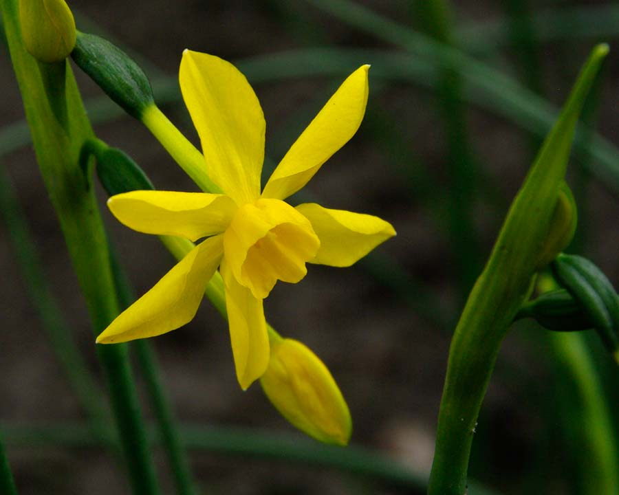 Narcissus Jonquilla group - 'Twinkling Yellow'