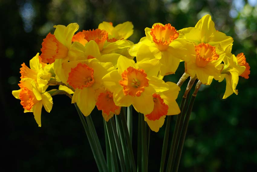 Narcissus - the ultimate harbinger of spring
