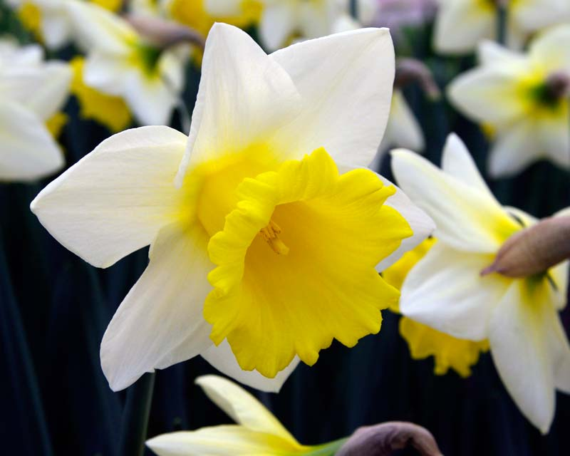 Narcissus Trumpet Long Cupped group - 'Cornish King'