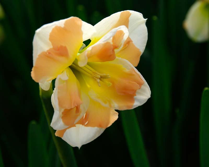 Narcissus Split Cup group - 'Cum Laude'