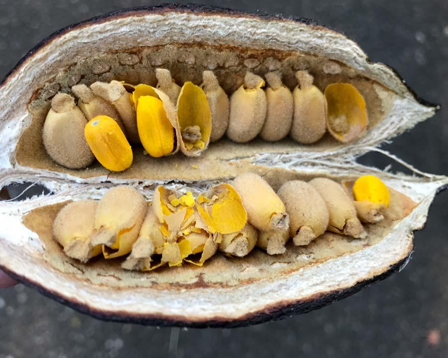 Seeds inside the boat shaped follicles of Brachychiton acerifolius
