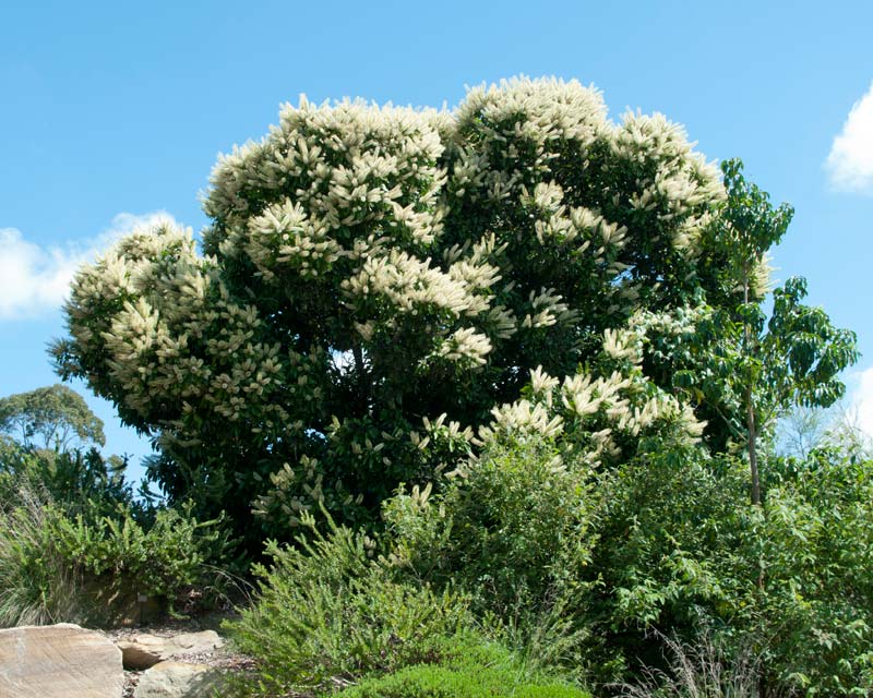 Buckinghamia celsissima at Mount Annan Royal Botanical Gardens Sydney