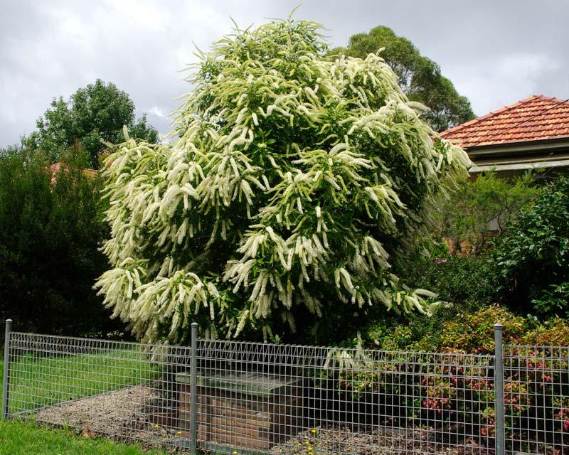 Buckinghamia celsissima - Ivory Curl Flower