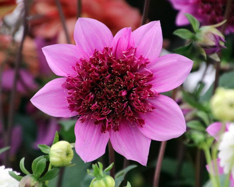 Dahlia Anemone Flowered Group - Blue Bayou