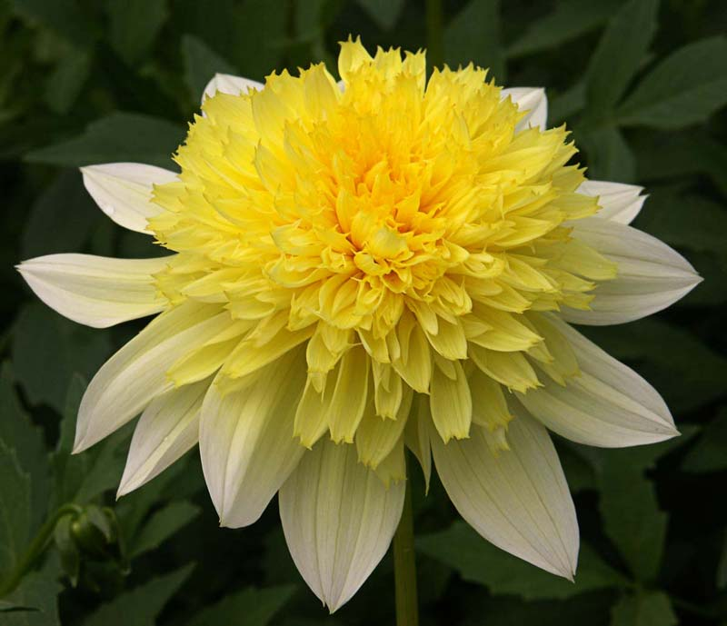 Dahlia anemone-flowered 'Freya's Paso Doble' - photo Mark Twyning