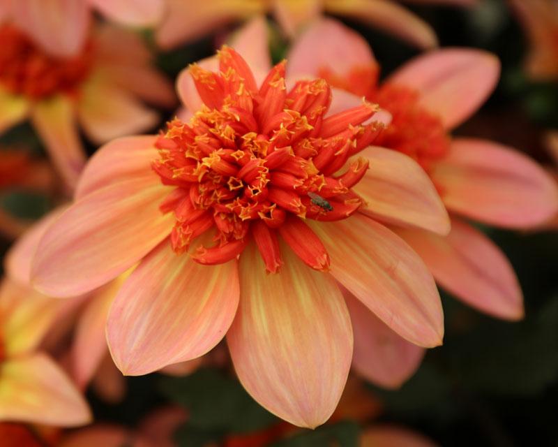 Dahlia Anemone Flowered Group - Totally Tangerine