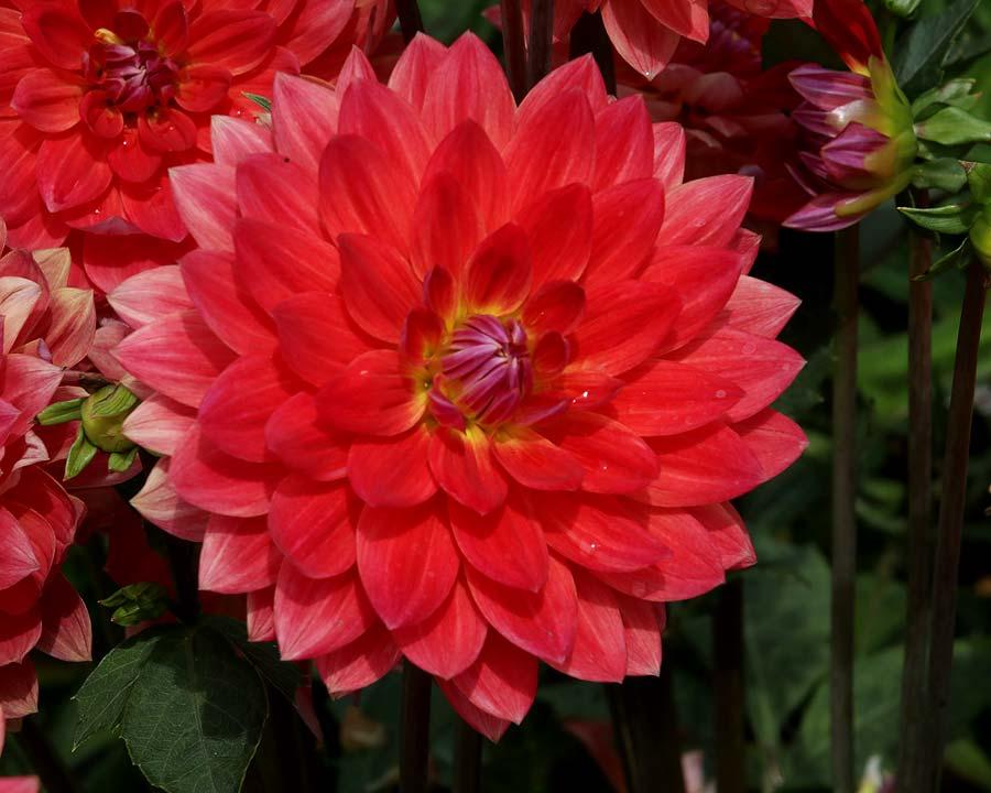 Dahlai Waterlilly Group 'Kilburn Rose'