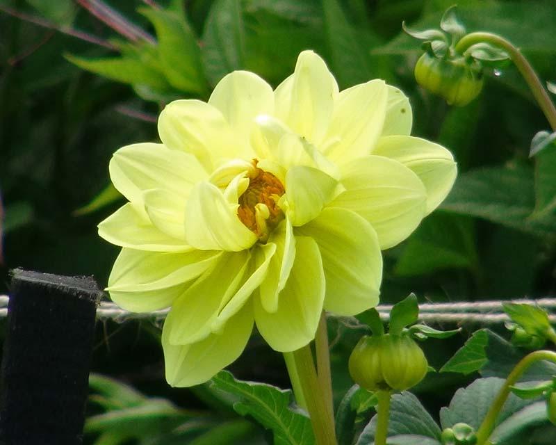 Dahlia Waterlilly Group - Glorie Van Heemstede
