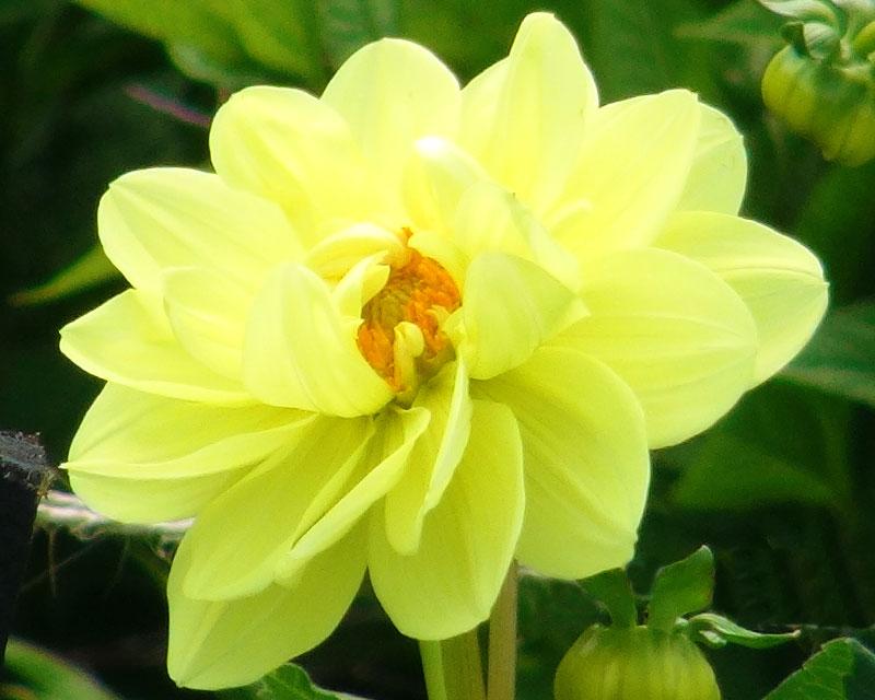 Dahlia Waterlily group - Glorie van Heemstede