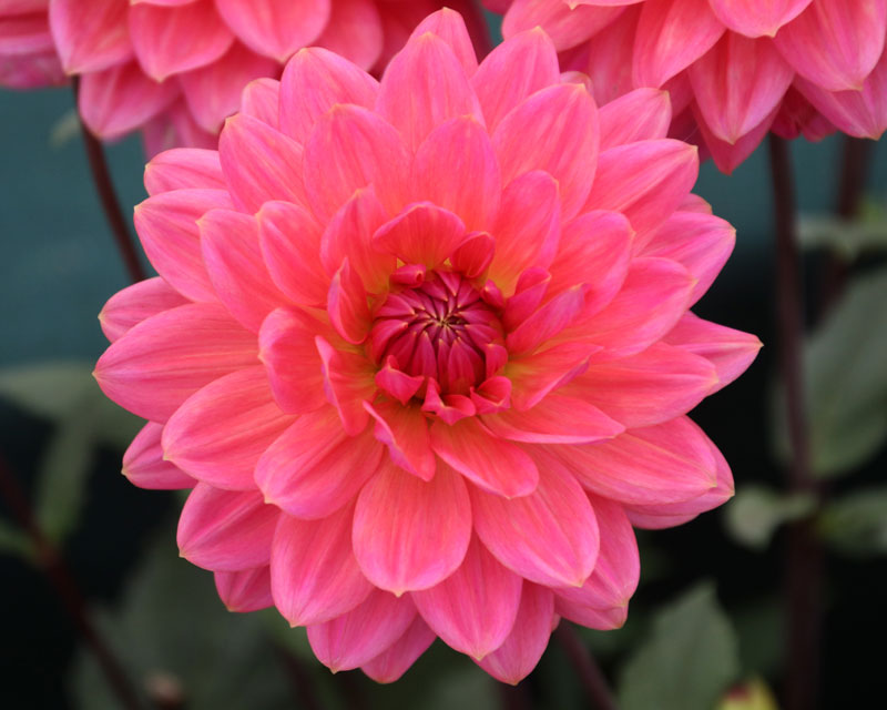 Dahlia Waterlily group - Hanny