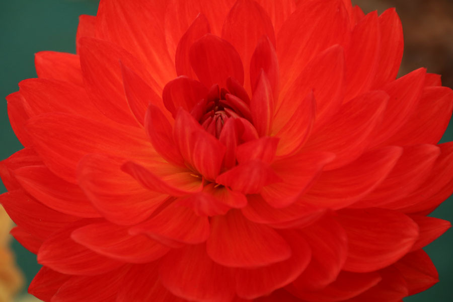 Dahlia Waterlily Flowered Group - Taratahi Ruby