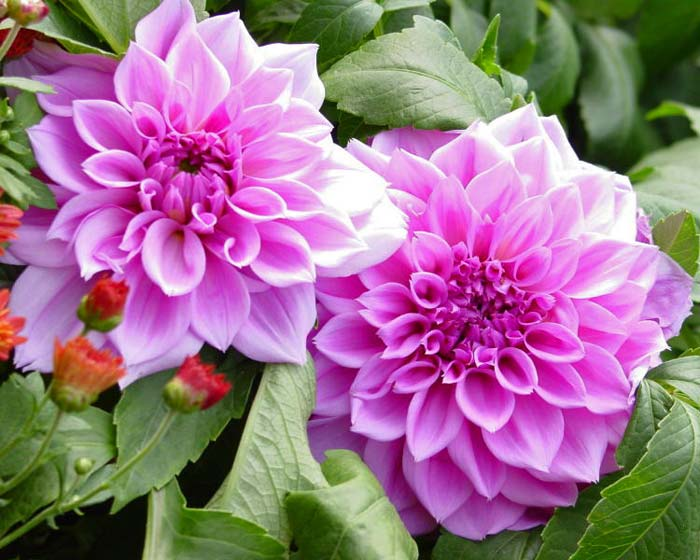 Dahlia waterlily or nymphaea-flowered group 4