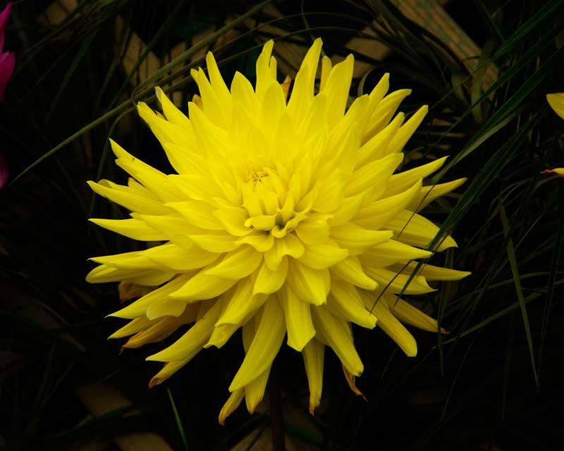 Dahlia Semi Cactus Group - Golden Vulcan