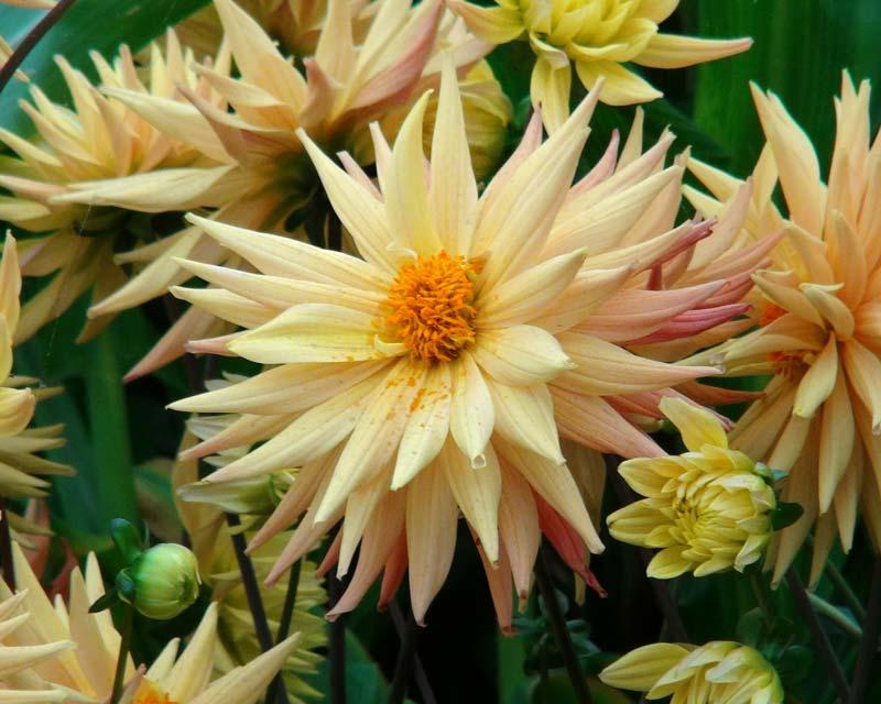 Dahlia Semi Cactus Group, this is Karma Corona