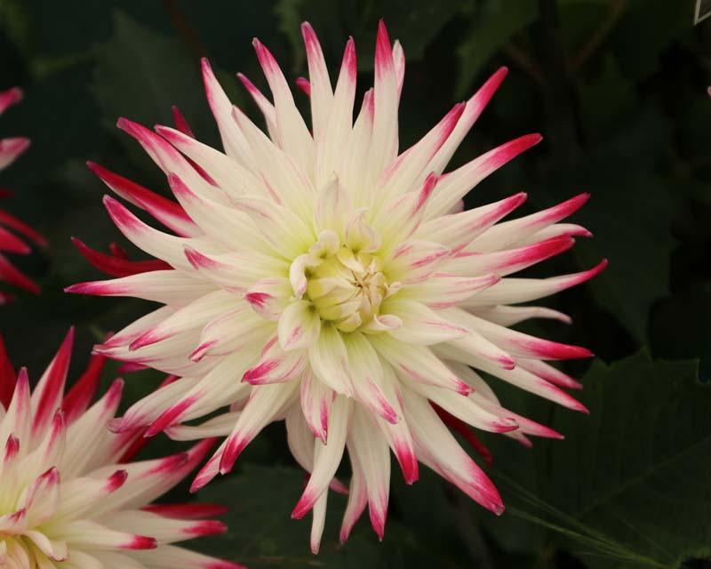 Dahlia Semi Cactus Group - Sorbet