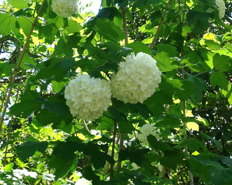 Viburnum Opulus Gardensonline