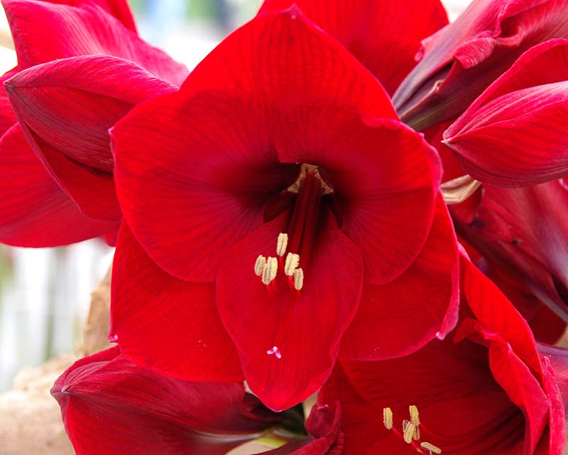 Gardensonline hippeastrum hybrids for Hippeastrum royal red entretien