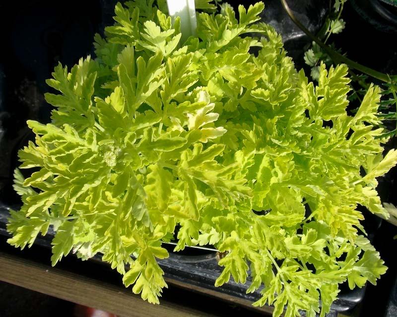 Tanacetum parthenium - Golden Feverfew
