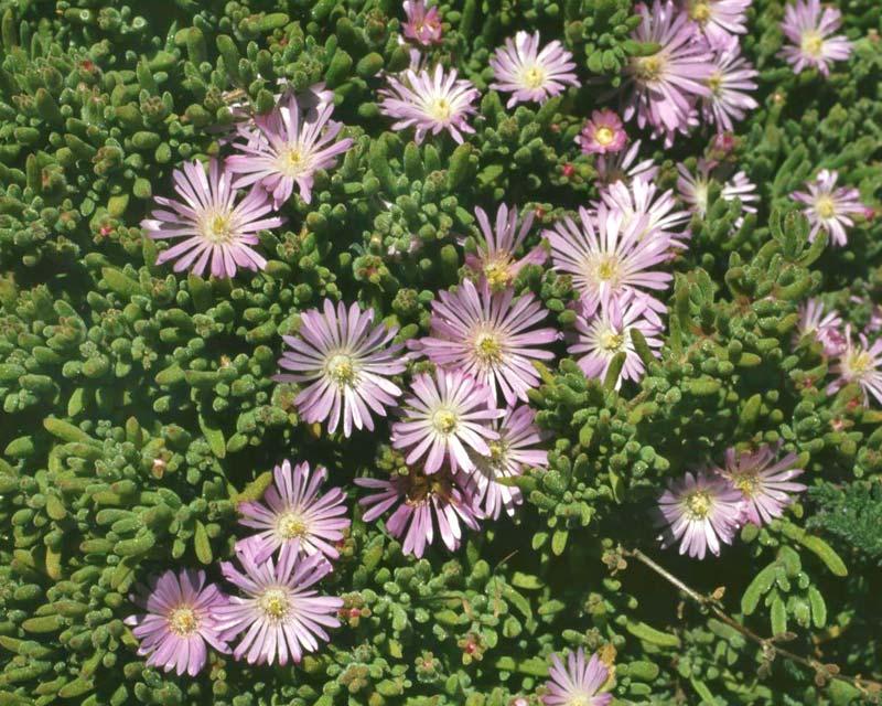 Drosanthemum floribundum syn D. candens - Ice Plant has pink daisy link flowers - photo Franz Xaver