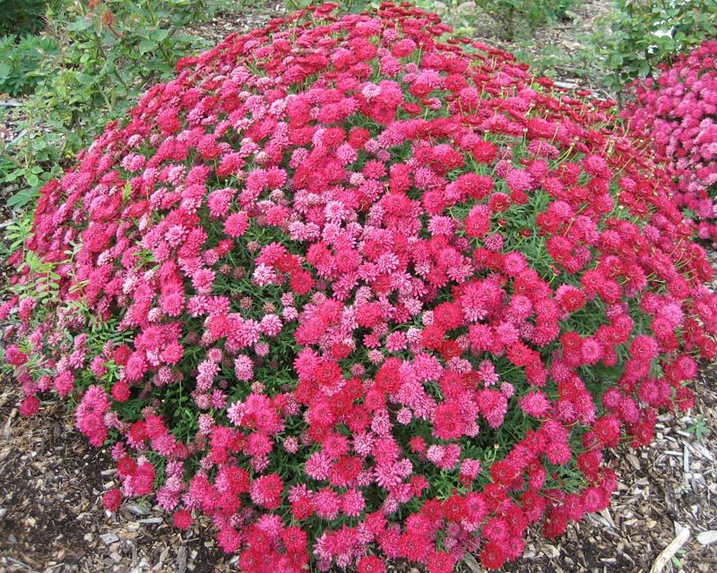 Argyanthemum frutescens Sugar Cheer