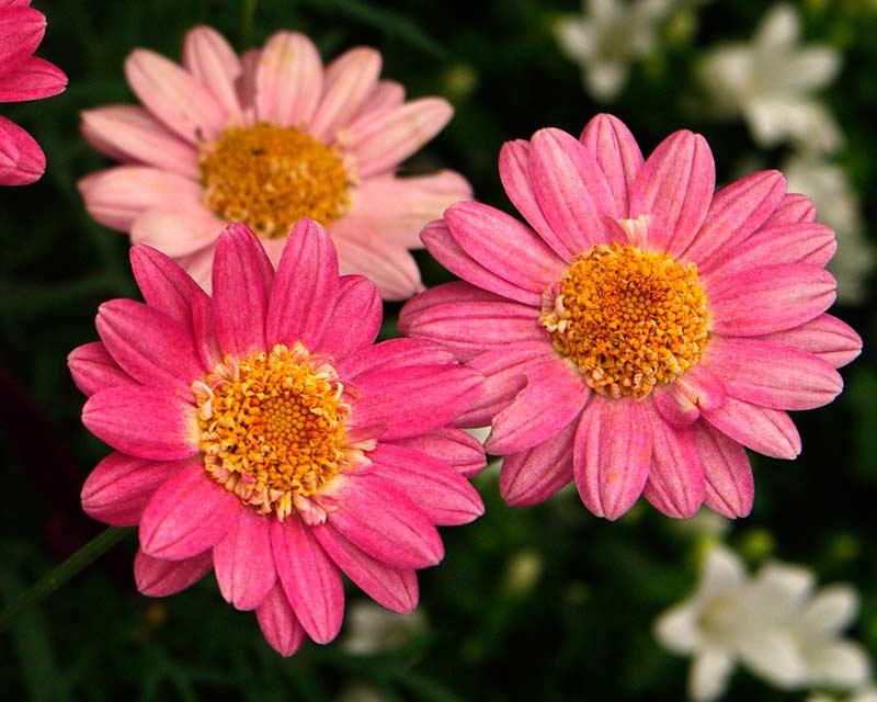 Argyanthemum Pink Lady