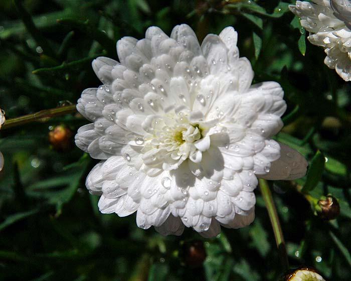 Argyranthemum frutescens, Supreme White