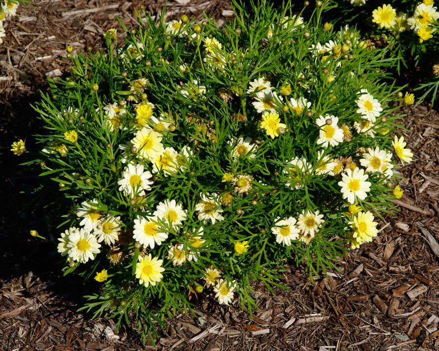 Argyranthemum 'Angelic Maize'