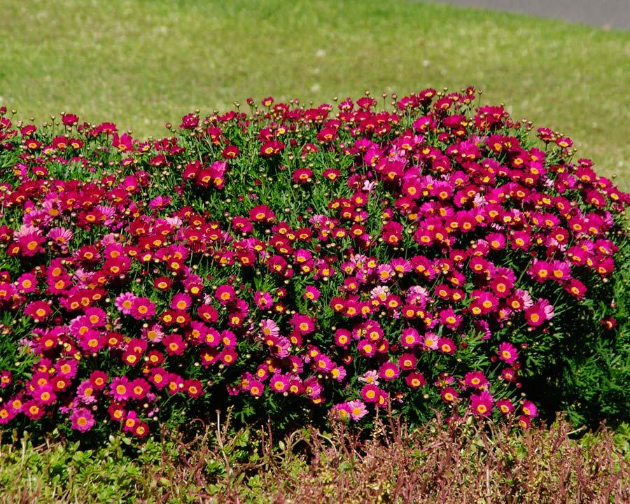 Argyranthemum Federation Daisy 'Bright Carmine'