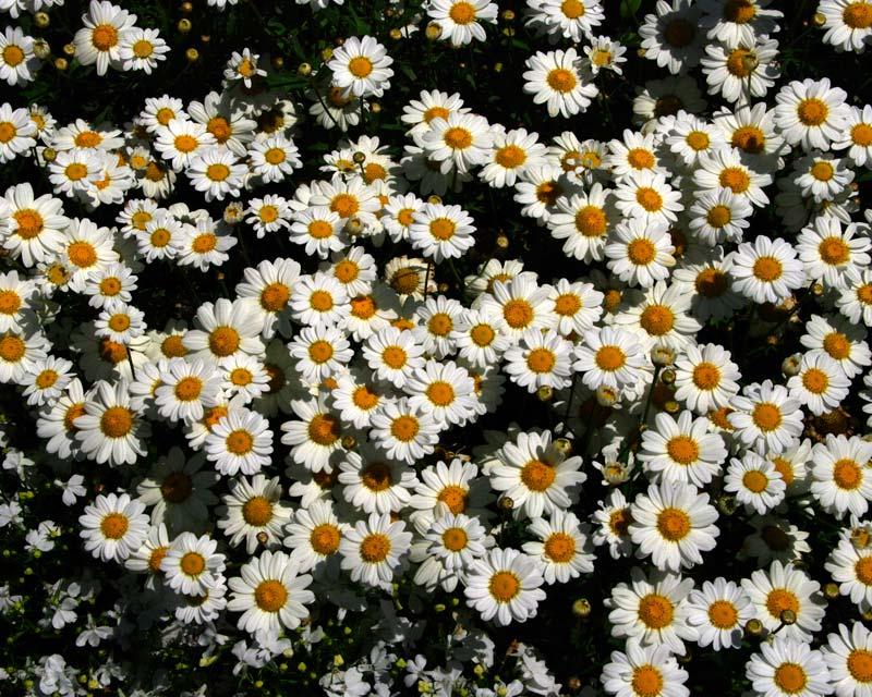 Argyranthemum frutescens - lovely border plant