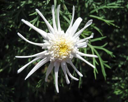 Argyranthemum frutescens - Spider White
