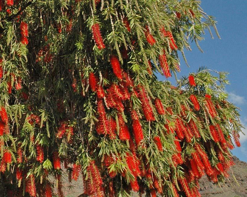 Callistemon viminalis Hannah Ray. Street plantings are popular.