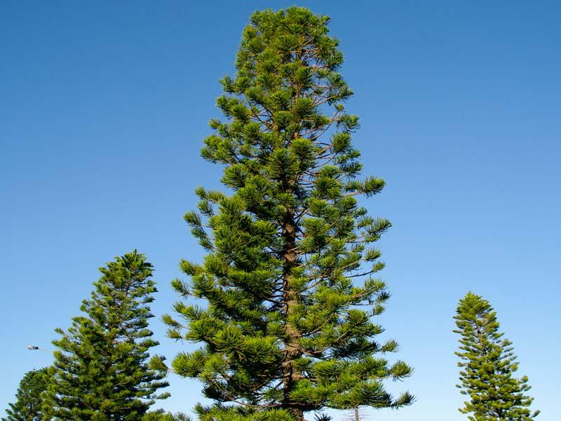 Araucaria heterophylla, Norfolk Island Pine