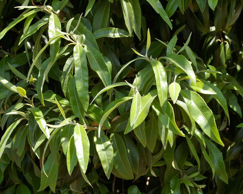 Backhousia citriodora - Sweet Verbena Tree