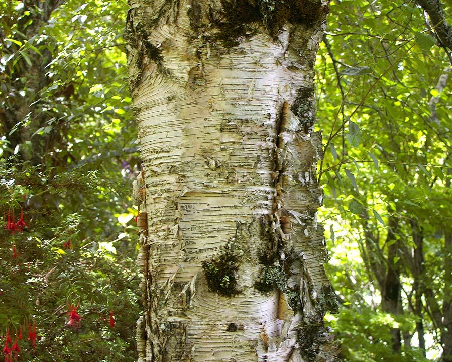 Betula pendula.  Silver birch