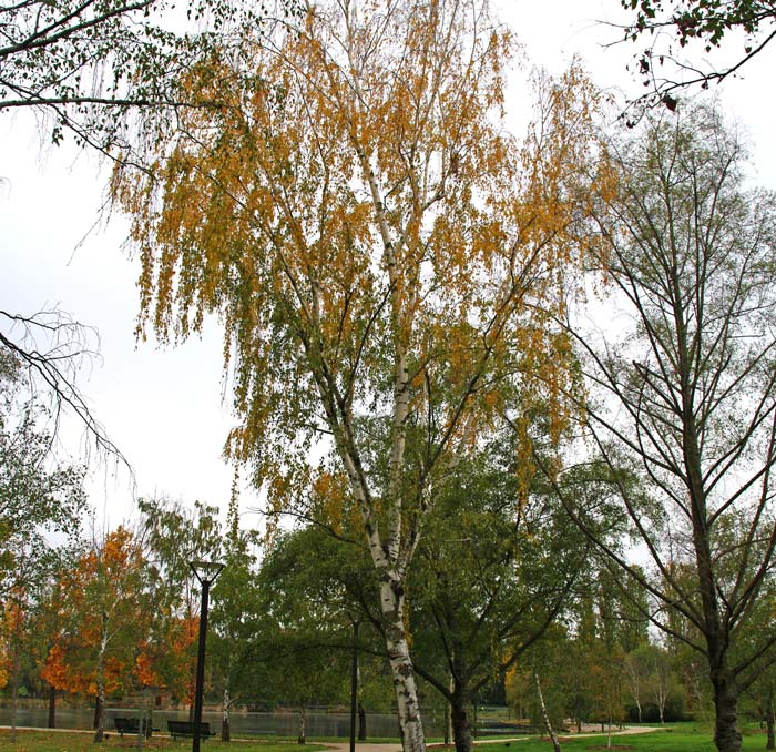 Autumn colour, yellow leaves of Betula pendula, Silver Birch