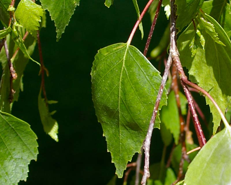 Betula pendula Youngii foliage