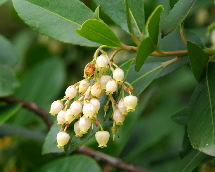Clusters of cream urceolate flowers - Irish Strawberry Tree  Arbutus unedo