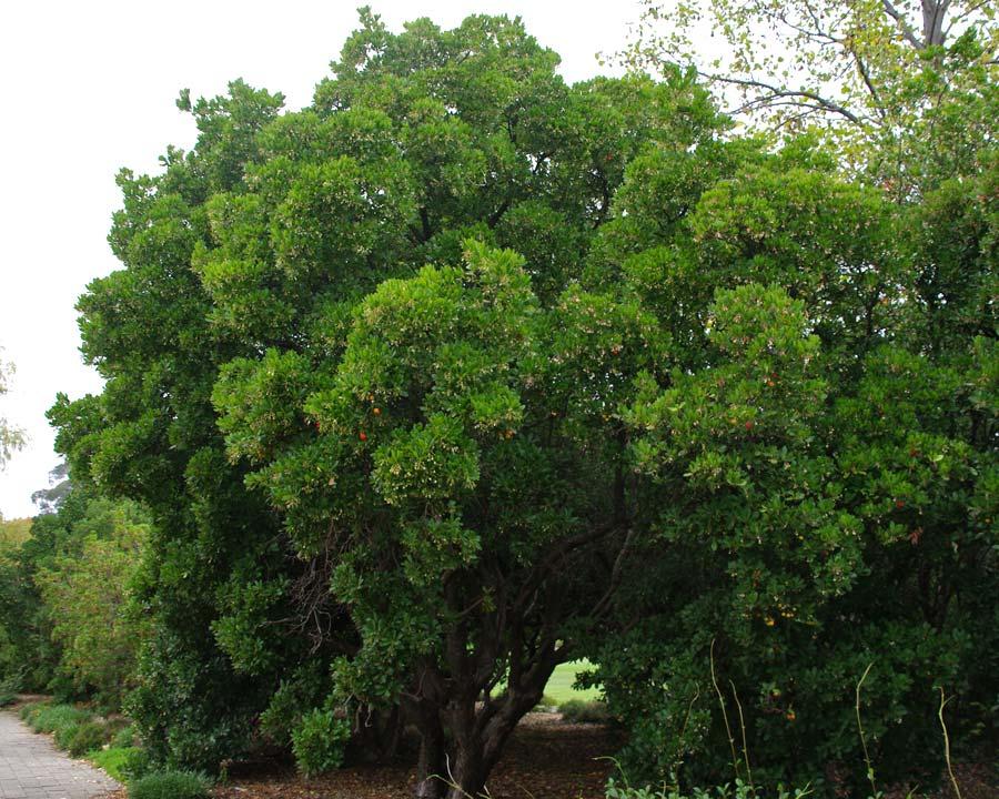 Large broadly domed tree - Arbutus unedo - Irish Strawberry Tree